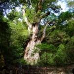 屋久島のランド―マーク、自然遺産・ヤクスギ