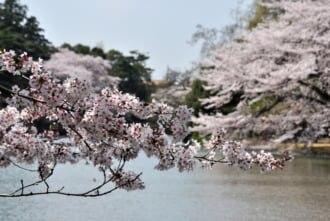 大宮公園内に咲く桜