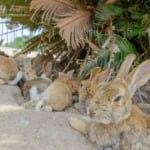 大久野島に生息するウサギたち