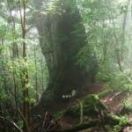 神の名がつく三本の巨大杉。そのうちのひとつが龍神杉