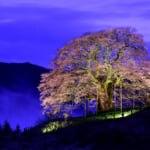 岡山県が誇る一本桜!樹齢1000年ともいわれる醍醐桜の観光案内(画像は夜にライトアップされた美しい醍醐桜)