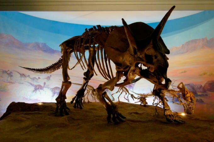 恐竜の骨 ソウル トリケラトプスの写真