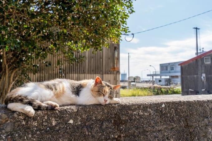 相島(猫島)で転寝をする猫