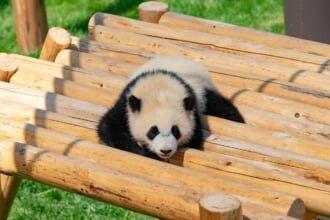 パンダの数は上野よりも多い