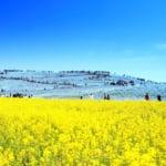 国営ひたち海浜公園の春の風景「ネモフィラと菜の花」