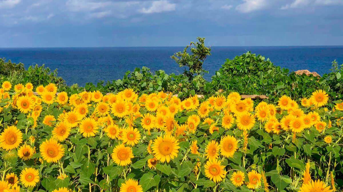 【2021年版】この夏行きたい全国のひまわり畑15選!